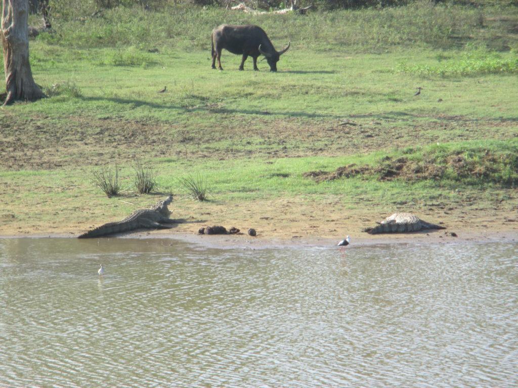 bufali e coccodrilli a yala park