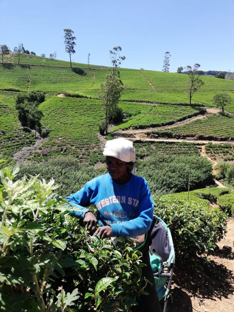 donne raccolgono tè