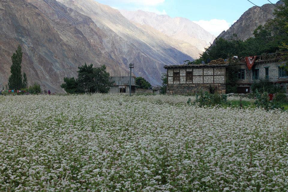 distesa di fiori in un prato davanti al villaggio di turtuk