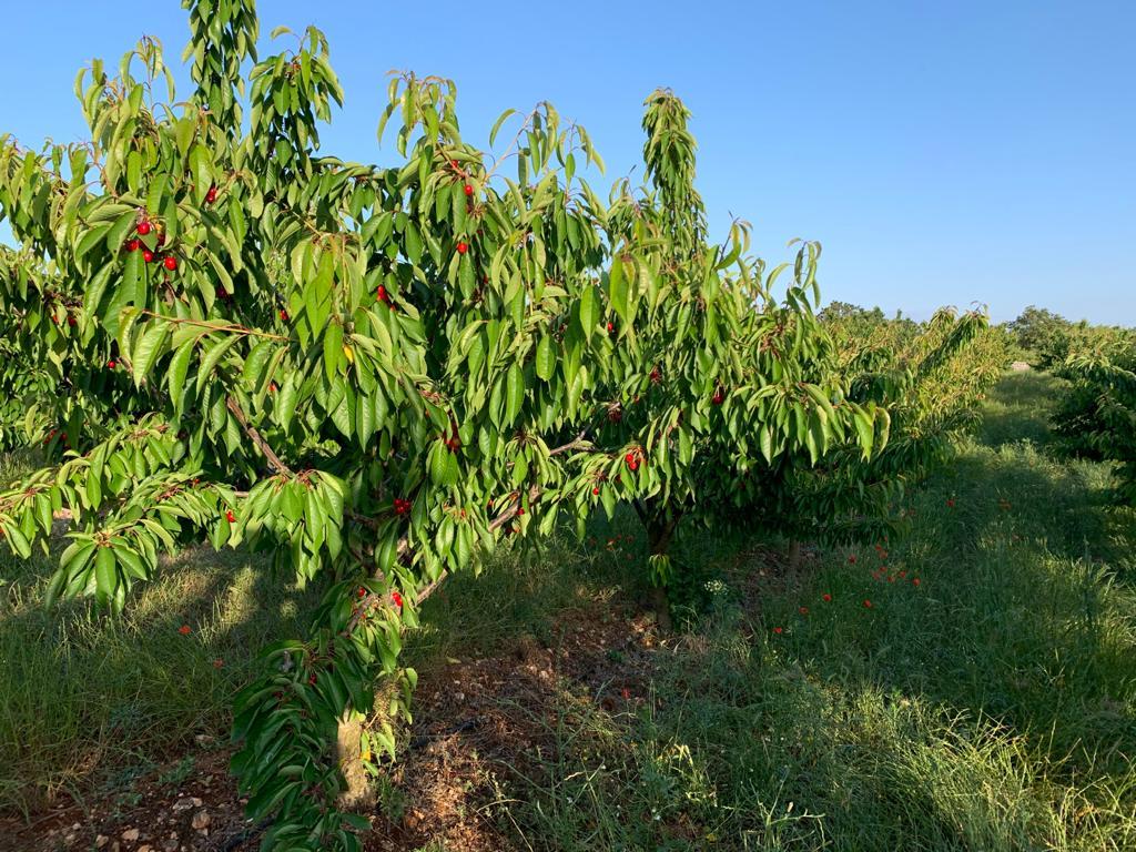ciliegie alberobello